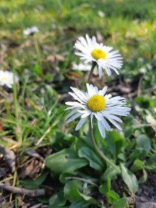 Gänseblümchen-Wonderfulfifty